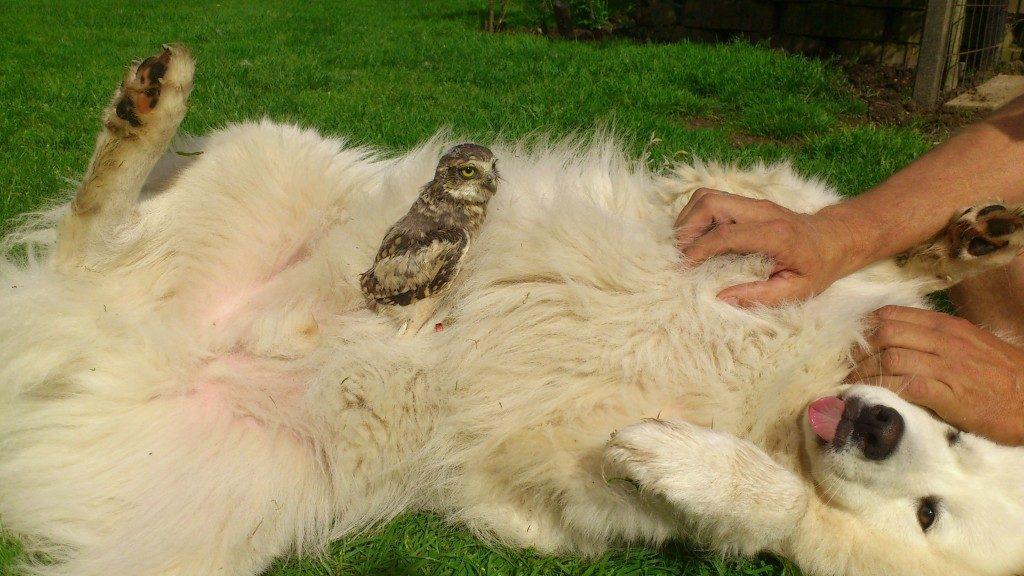 Samoyed Dog and Owl