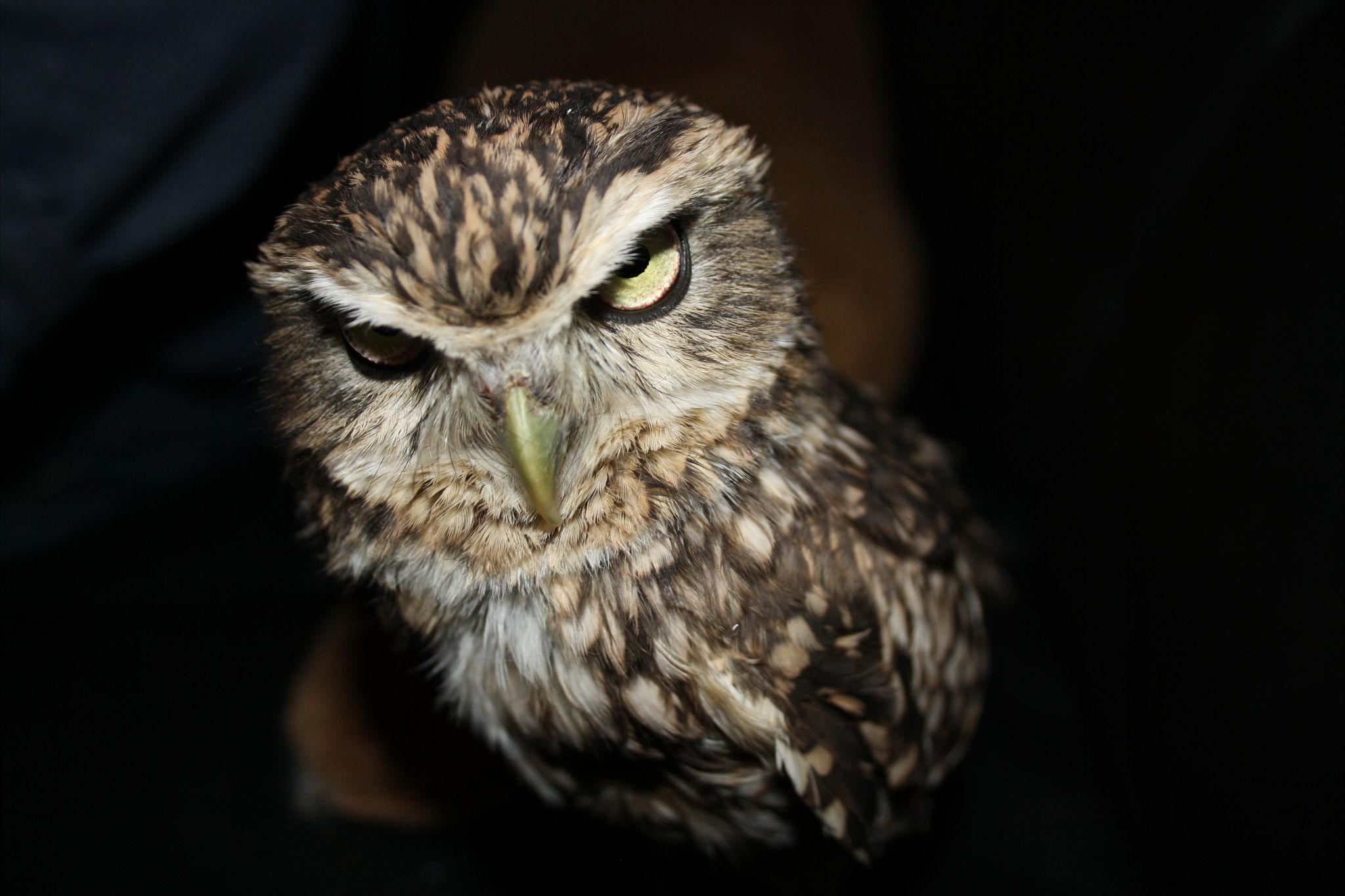 Evil owl