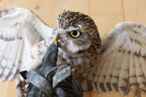 Owl Bite