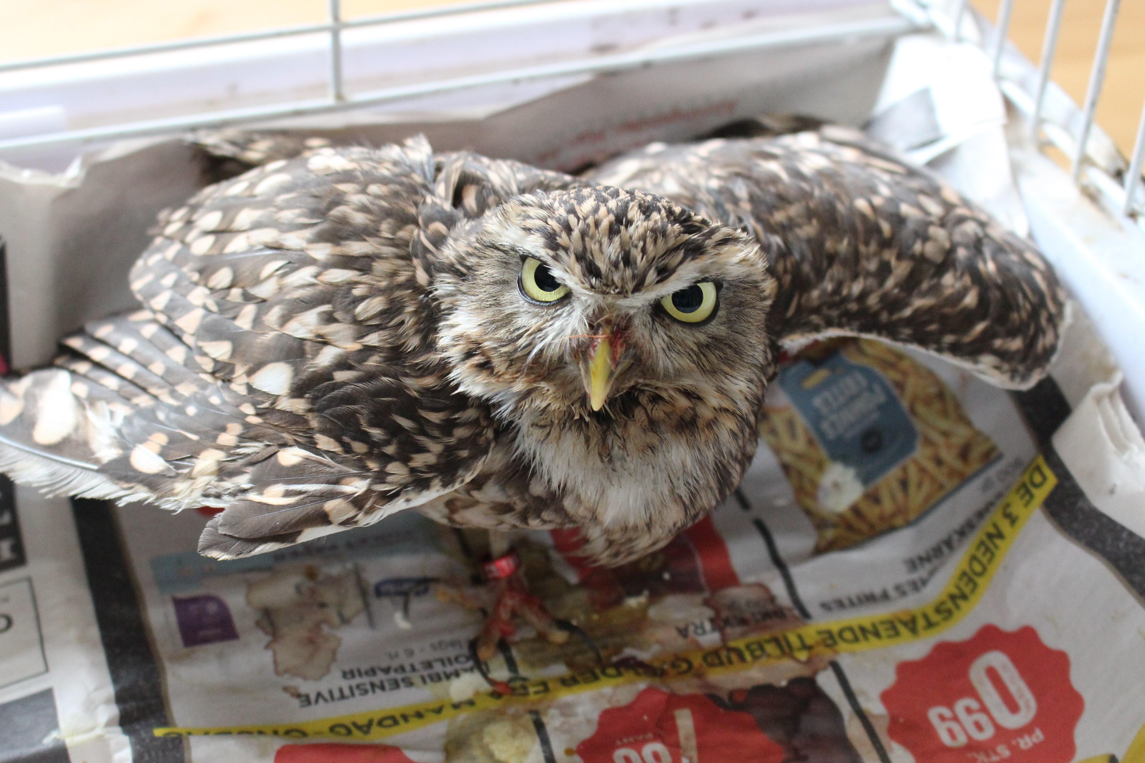 One-Legged Owl