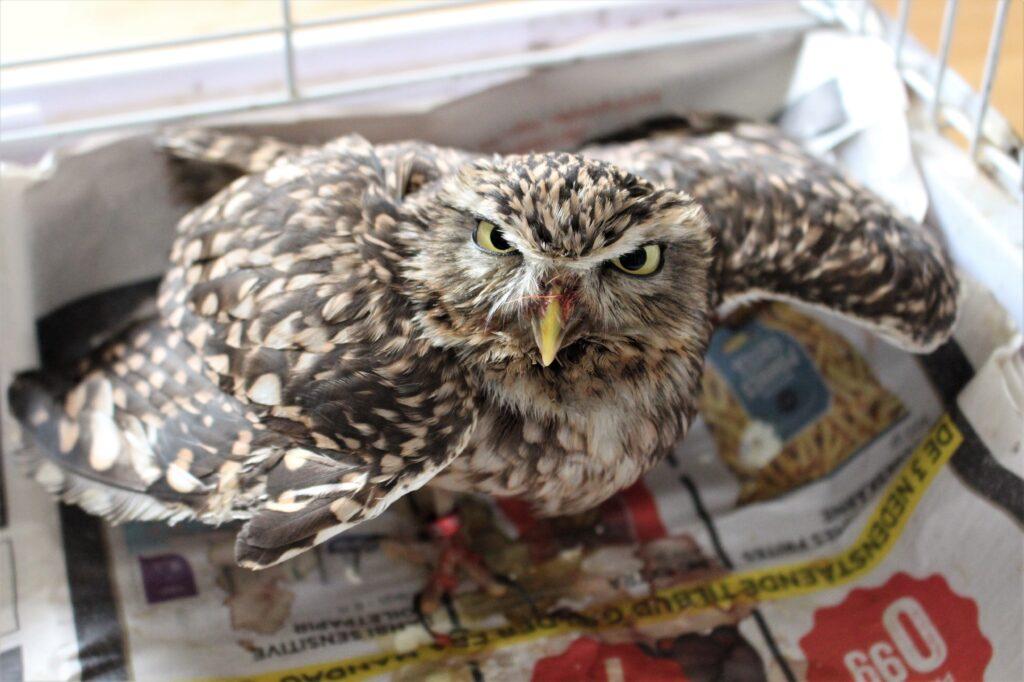 Angry One-Legged Owl
