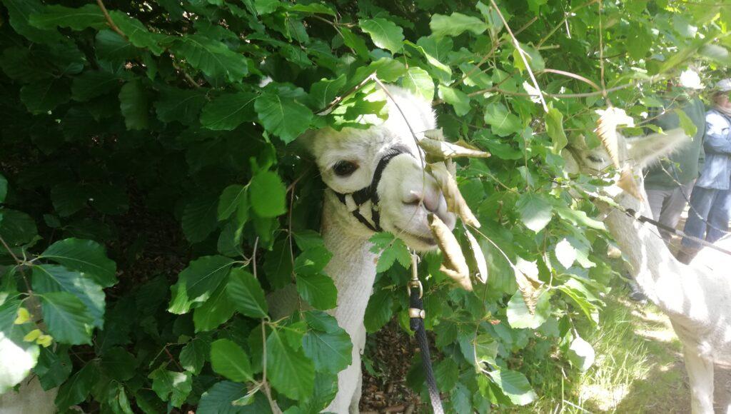 Alpaca eating leaves